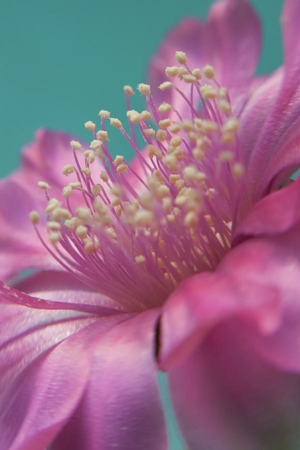 Vertical Photograph - Cactus Flower by Images by Patti-Jo