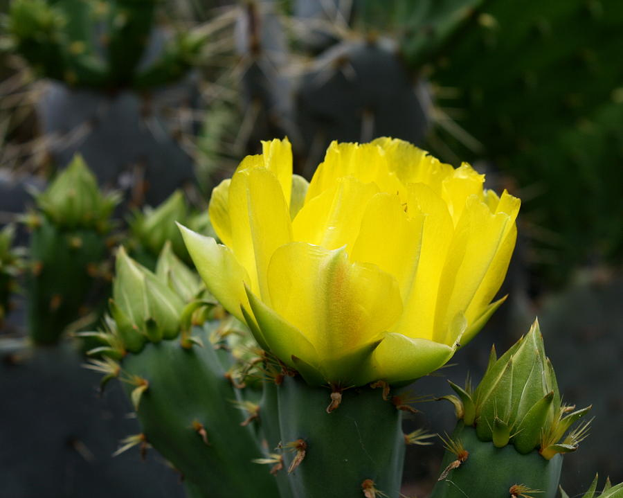Cactus flower yellow rose of texas prickly pear photograph by terry cactus photograph cactus flower yellow rose of texas prickly pear by terry fleckney mightylinksfo