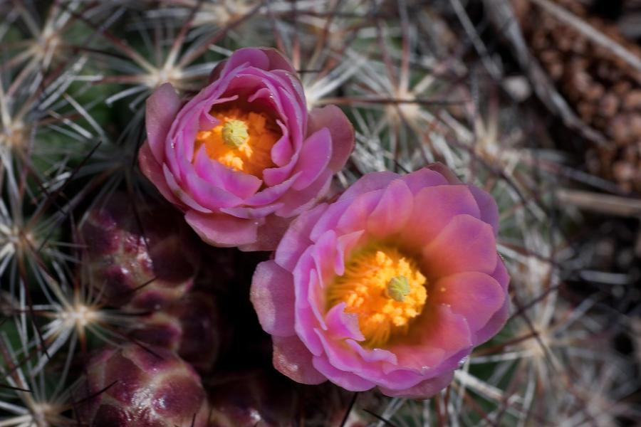Colorado Photograph - Cactus Flowers by G Wigler