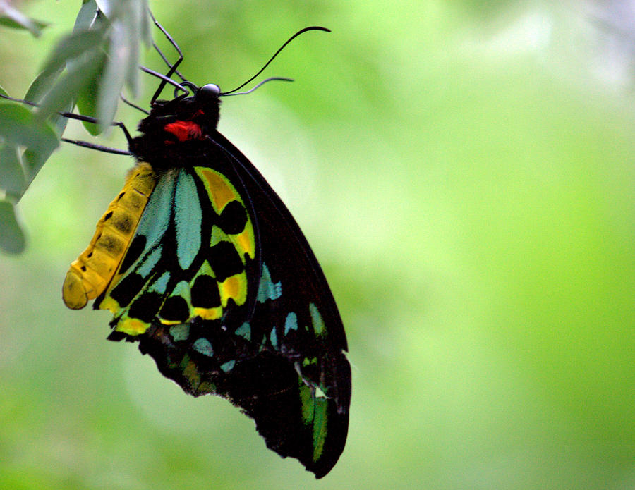 Butterfly Photograph - Cairns Birdwing Butterfly by Jale Fancey