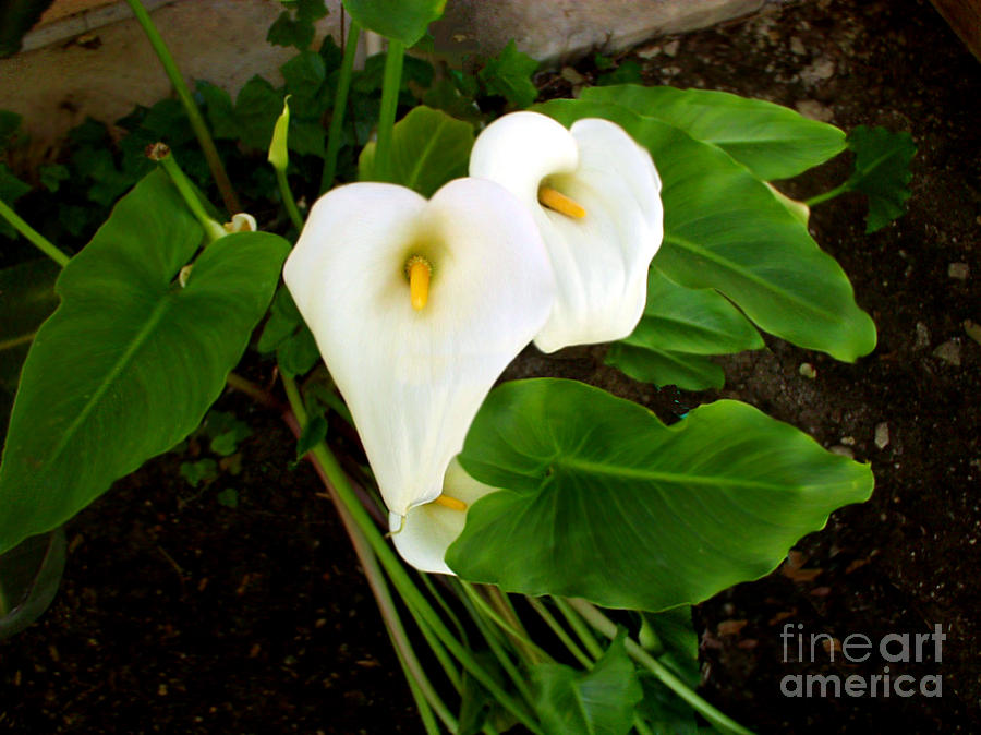 Cala Lily Photograph - Cala Lily by The Kepharts