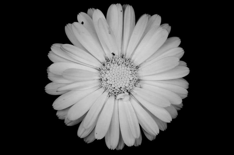 Calendula Flower Black And White Photograph By Laura Melis