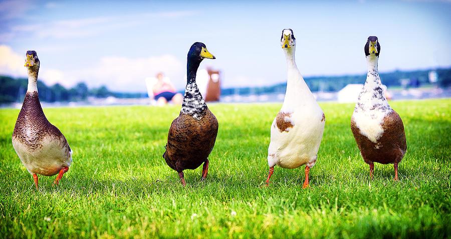 Duck Photograph - Calico Duck Quartet by Vicki Jauron