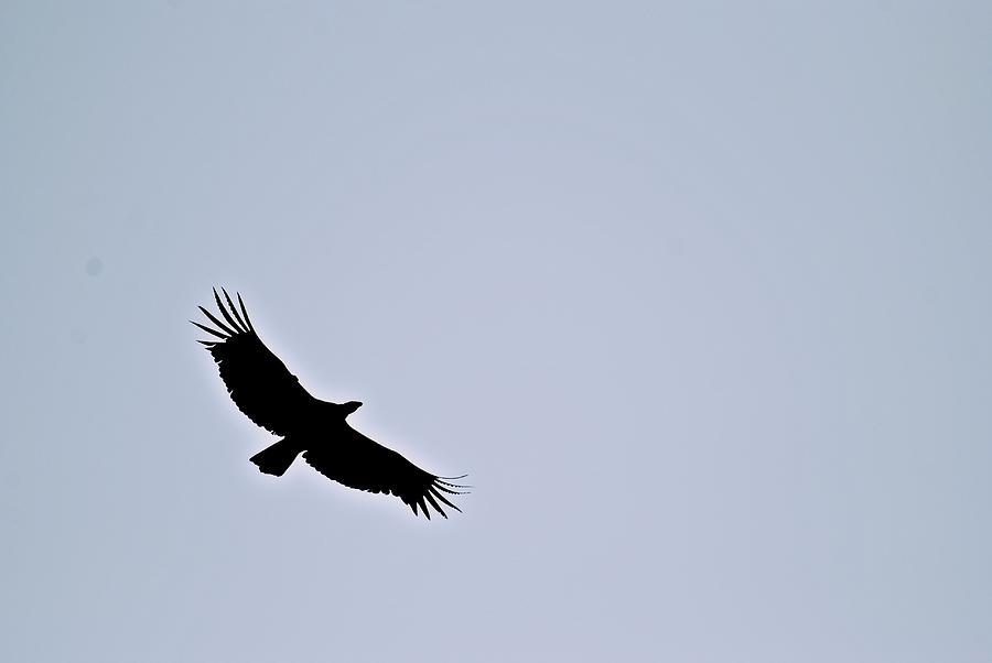 California Condor Photograph - California Condor by Eric Tressler