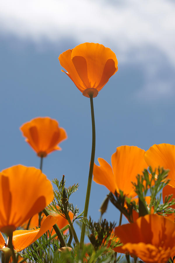 Poppy Photograph - California Poppies by Denice Breaux