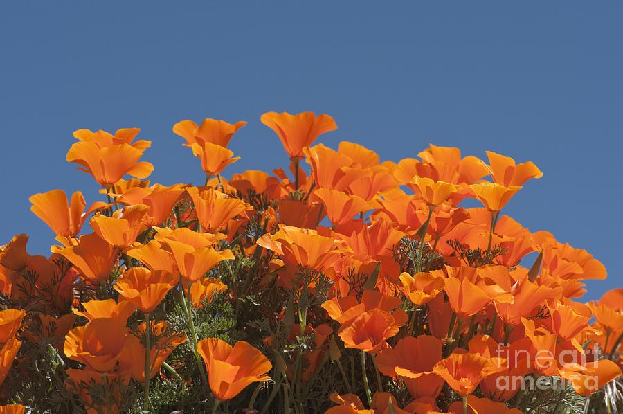 Sandra Bronstein Photograph - California Poppies by Sandra Bronstein