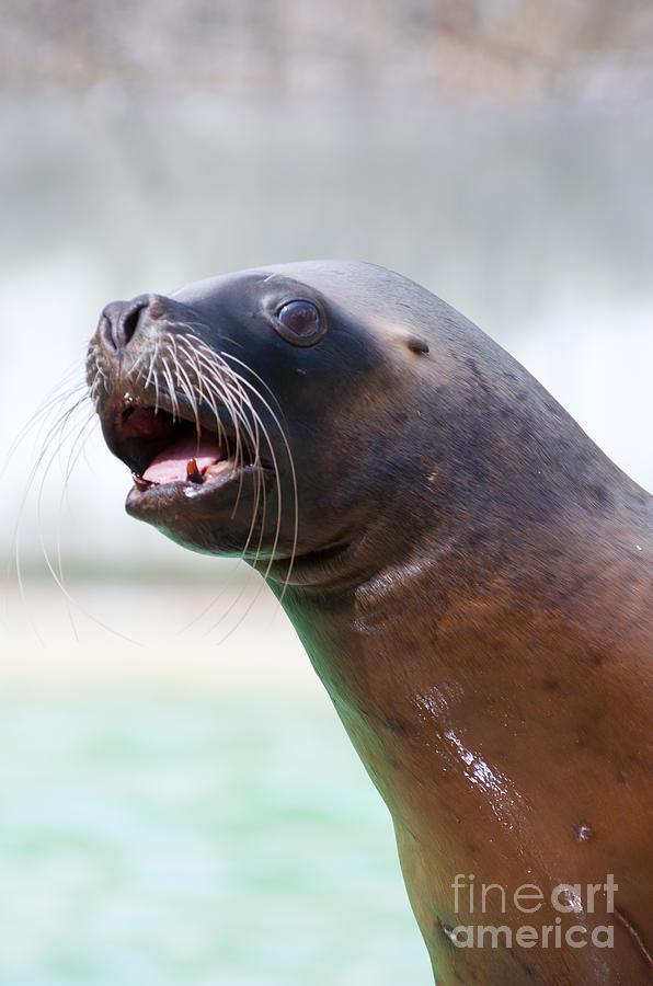 California Photograph - California Sea Lion by Andrew  Michael
