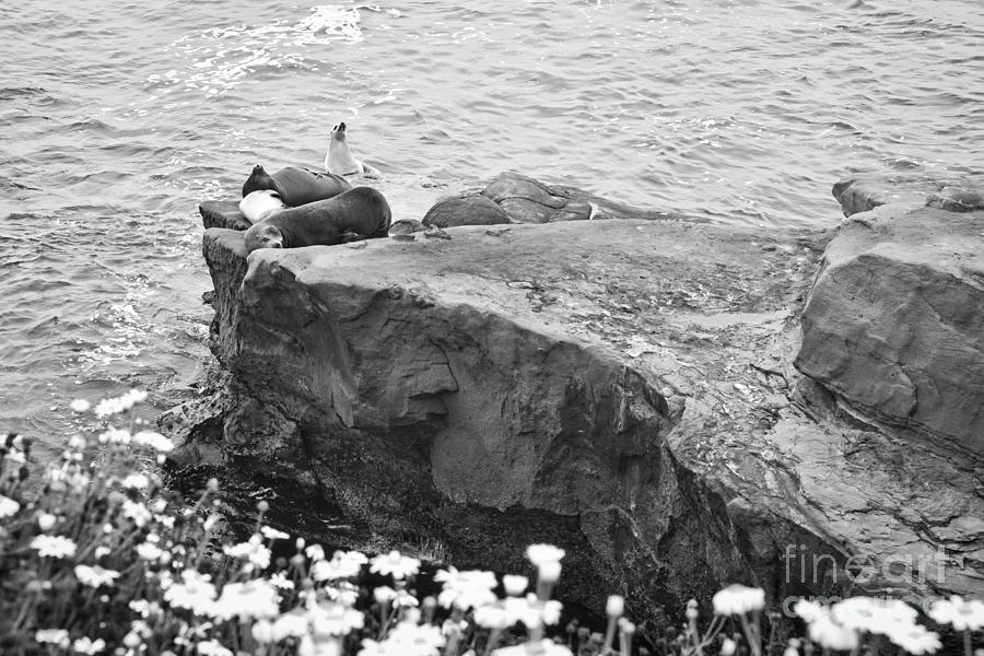 Black And White Photograph - California Sea Lions Black And White La Jolla Shores San Diego  by Sherry  Curry