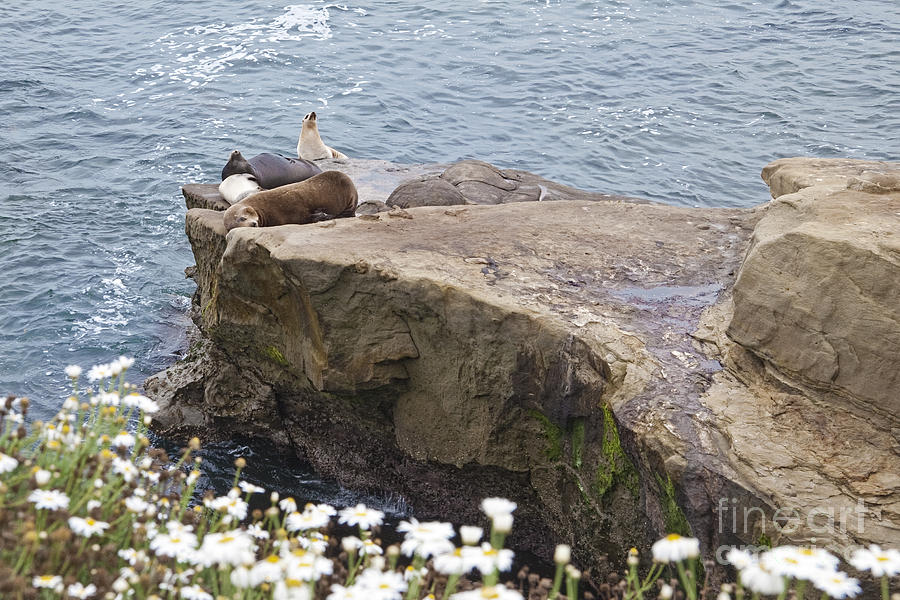 California Sea Lions Zalophus Californianus At La Jolla Shores Photograph by Sherry  Curry