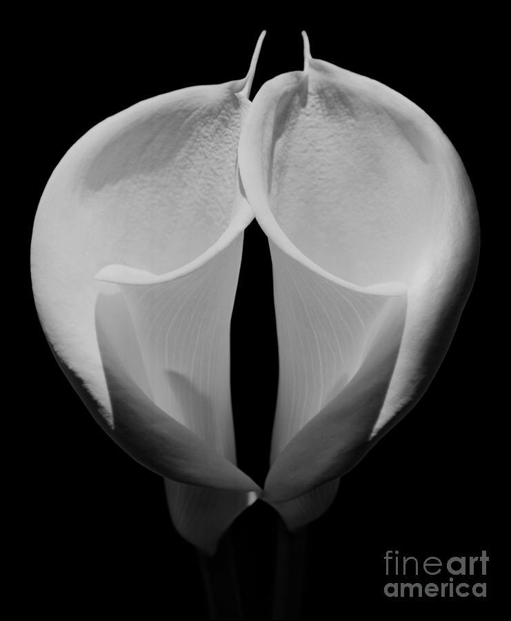 Flores Photograph - Calla Lilies 2 by Aldo Cervato
