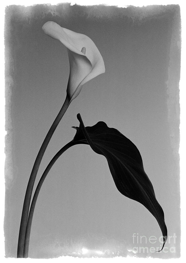 Floral Photograph - Calla Lily 3 DR by Aldo Cervato