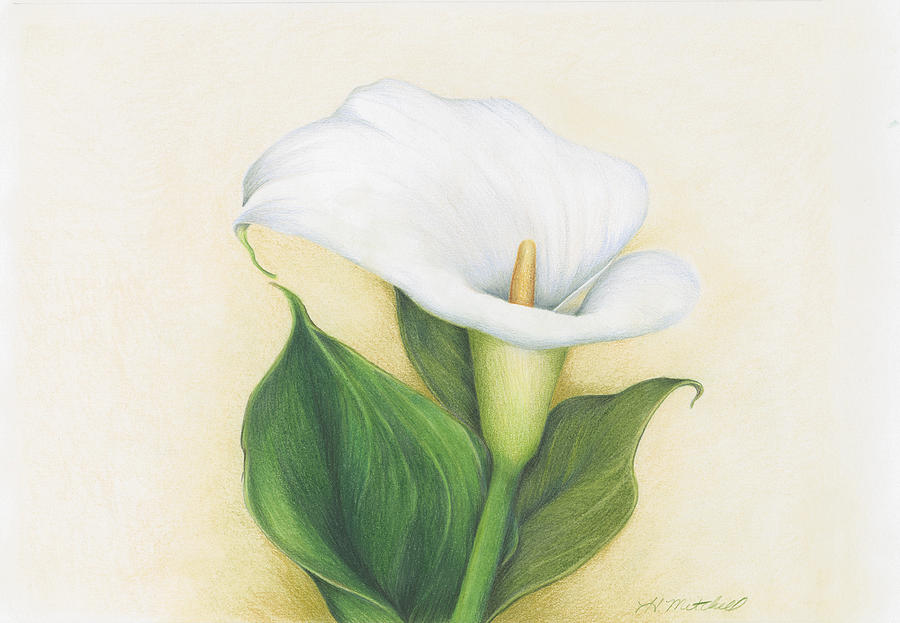 calla lily drawing calla lily by heather mitchell