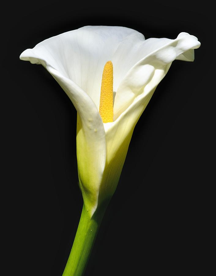 Calla Lily In Morning Sun Photograph By Alan Hart