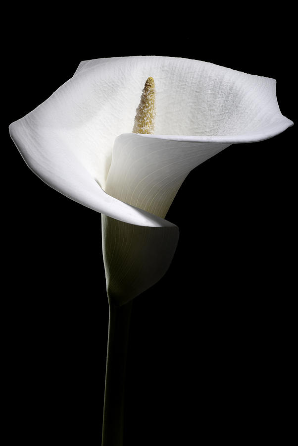 Flower Photograph - Calla Lily by Nathaniel Kolby