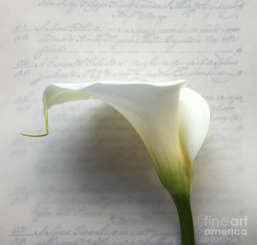 Calla Lily Photograph - Calla Lily On Old Script Writing by Ruby Hummersmith