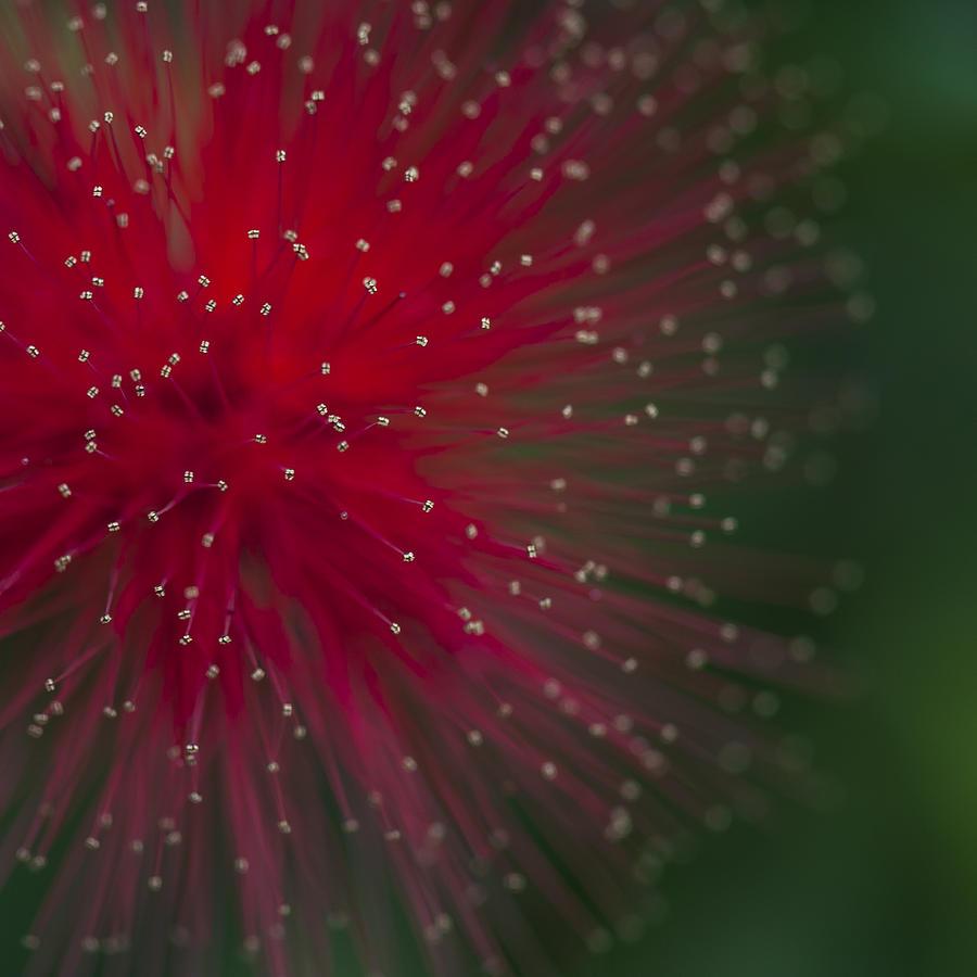 Flower Photograph - Calliandra II by Zoe Ferrie