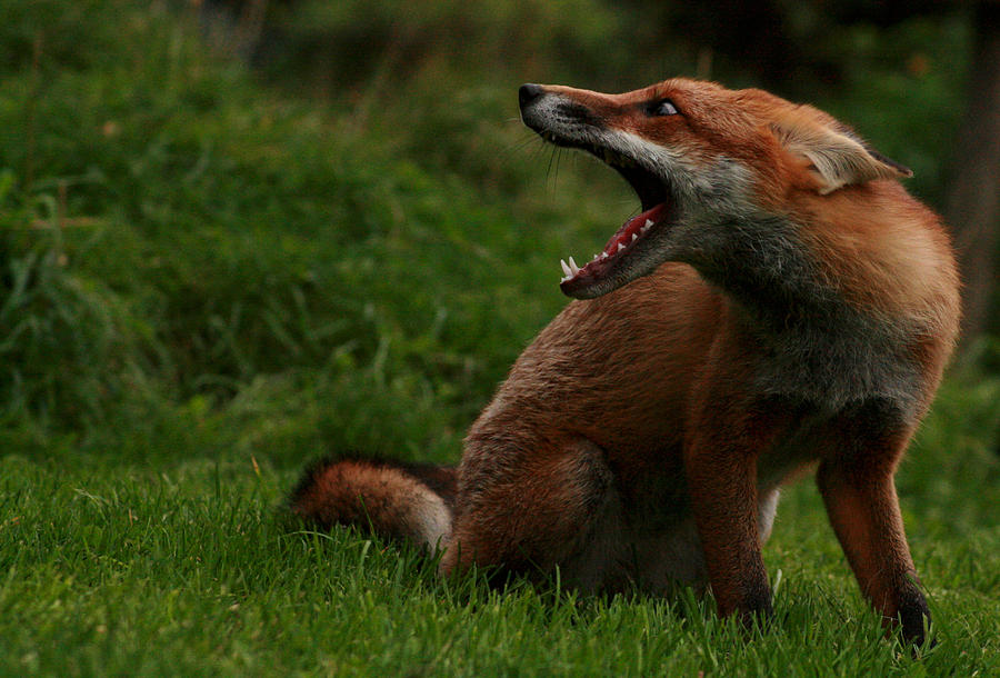 Fox Photograph - Calling The Brothers by Jacqui Collett
