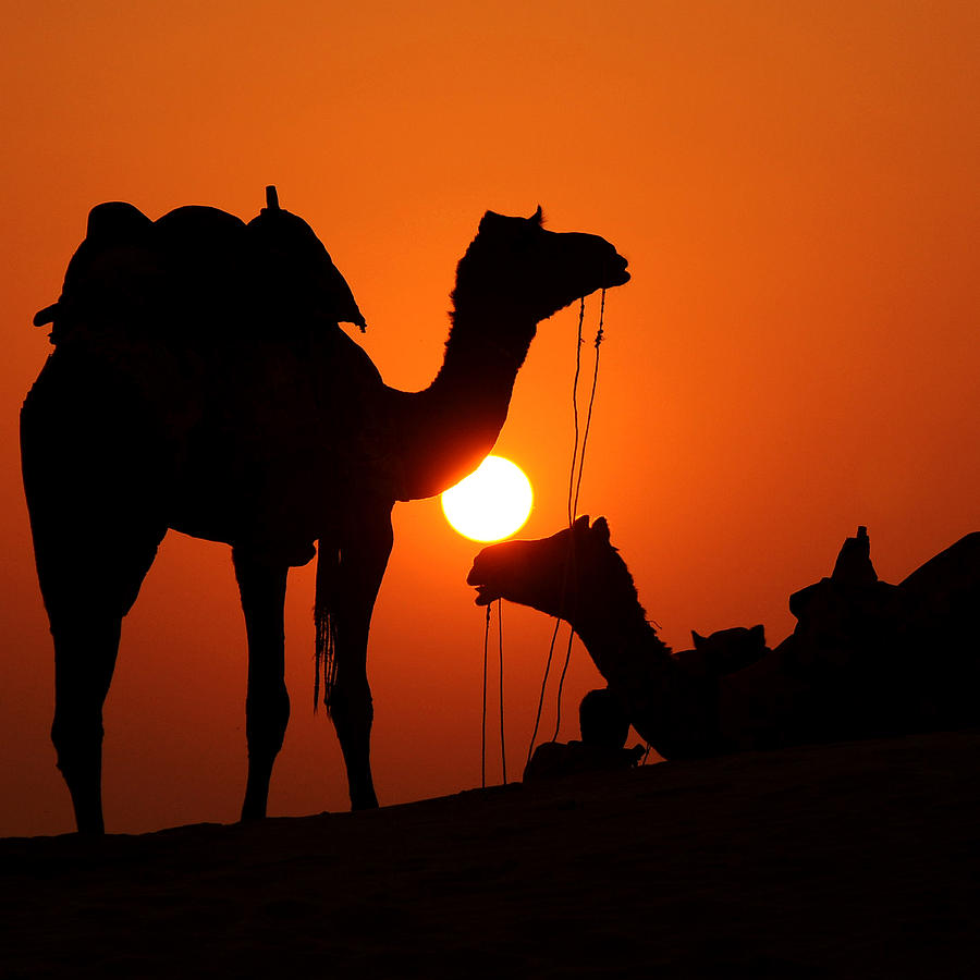 Camel And Sunset Photograph by C R Shelare