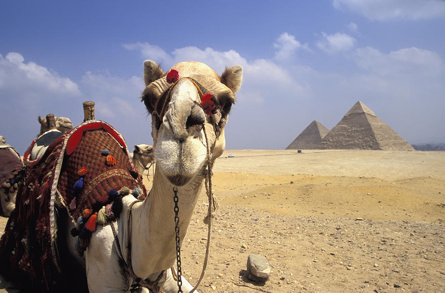 Animal Head Photograph - Camel In Giza Egypt by Axiom Photographic