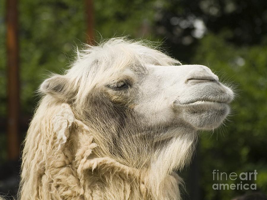 Animal Photograph - Camel Portrait by Odon Czintos