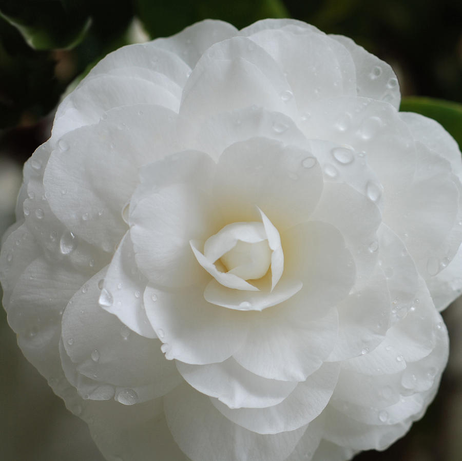 White Camellia Photograph - Camellia After Rain Storm by Shane Kelly