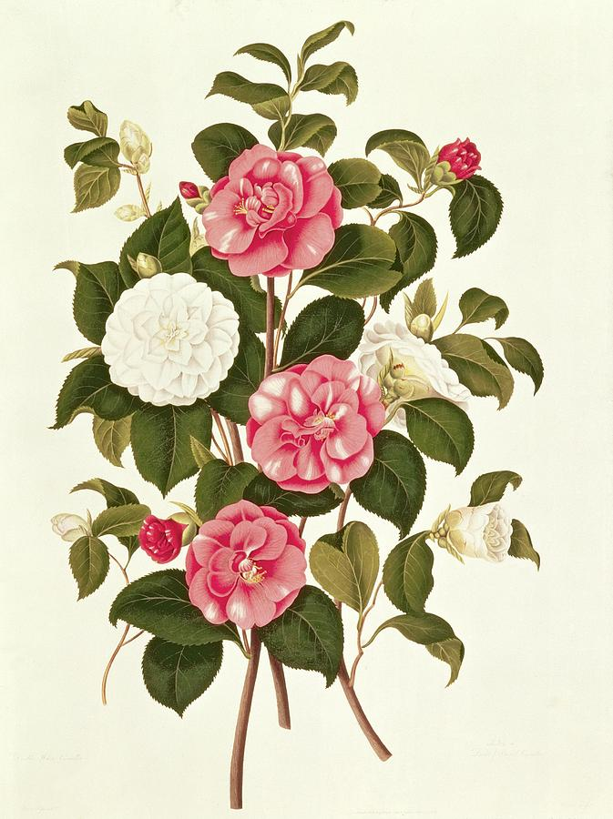 Flower Painting - Camellia by English School