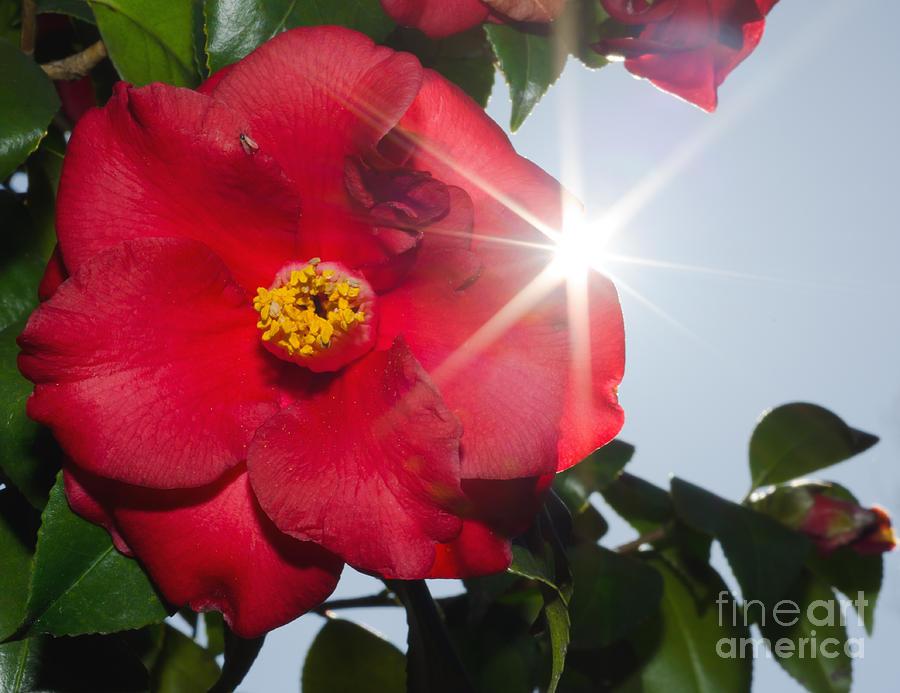 Camellia Photograph - Camellia Flower by Mats Silvan