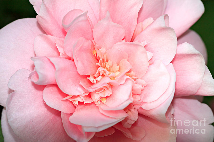Camellia Photograph - Camellia by Louise Heusinkveld