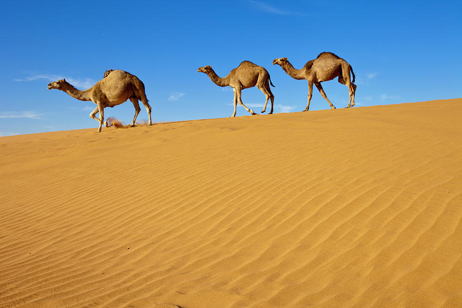 Camels Walking On Sand Dunes Photograph by Saudi Desert ...