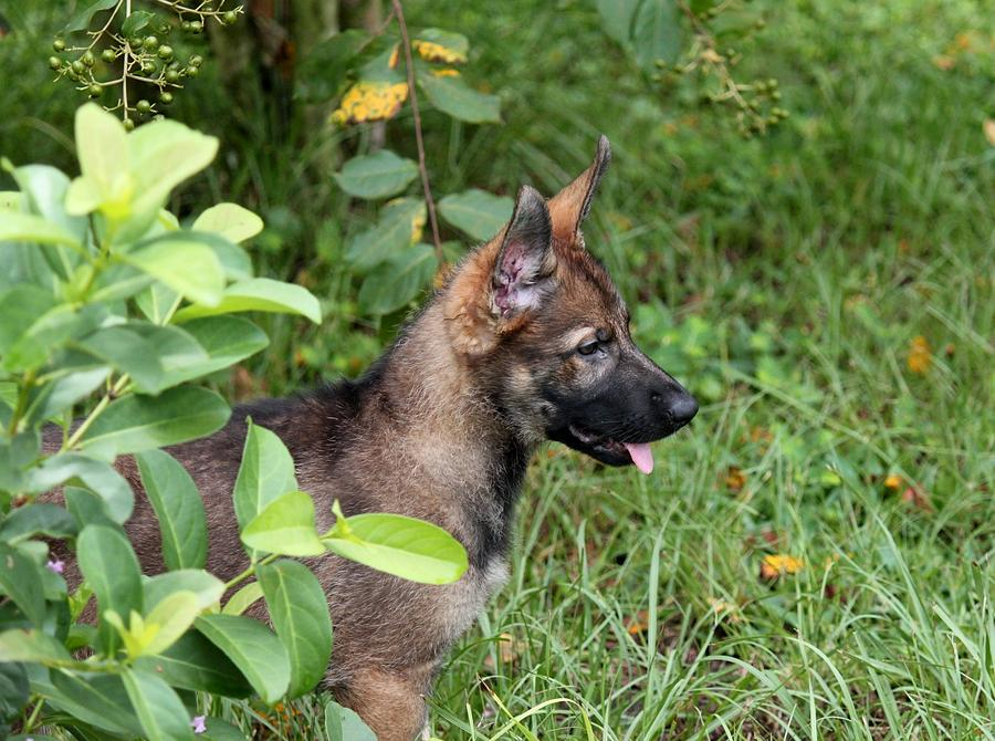 German Shepherd Puppy Photograph - Camouflage Puppy by Christean Ramage
