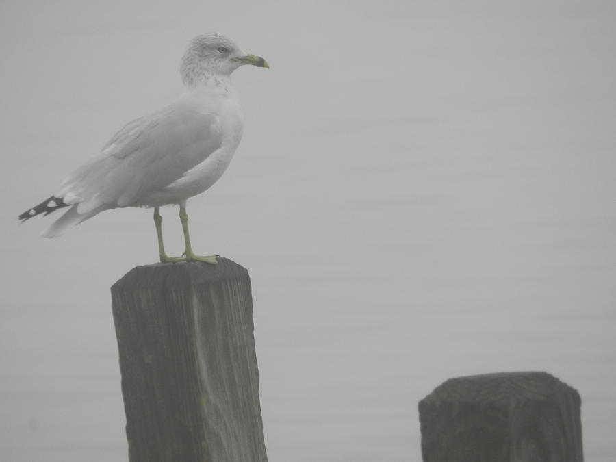 Nature Photograph - Camouflaged Seagull by Dennis Leatherman