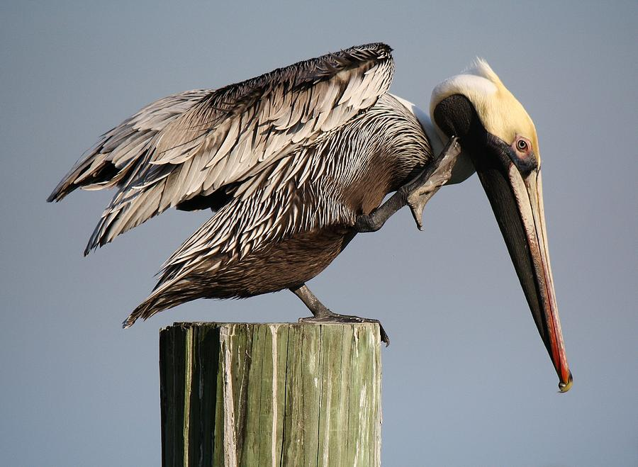 Pelican Photograph - Can You Hear Me Now by Paulette Thomas