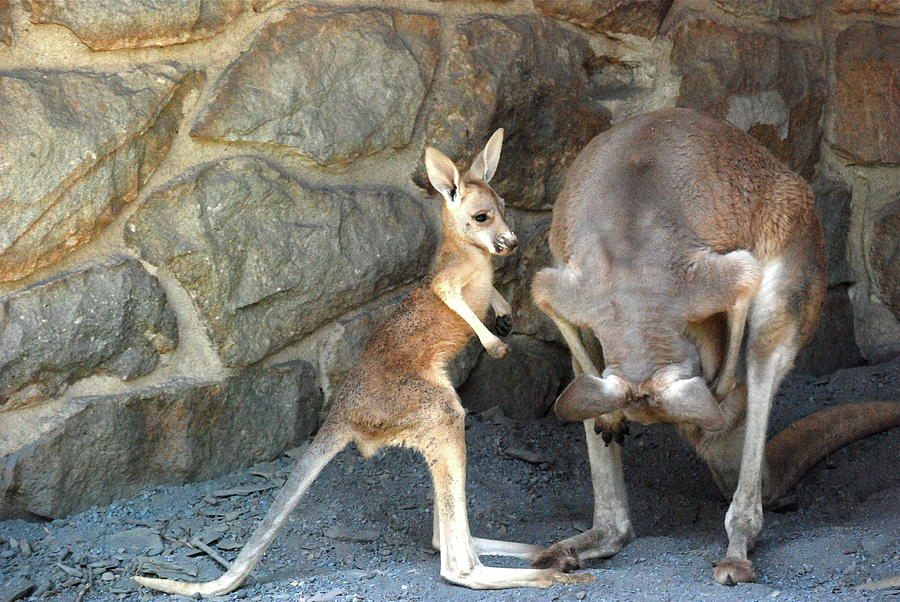 Kangaroo Photograph - Can You Look To See  by Kathy Gibbons