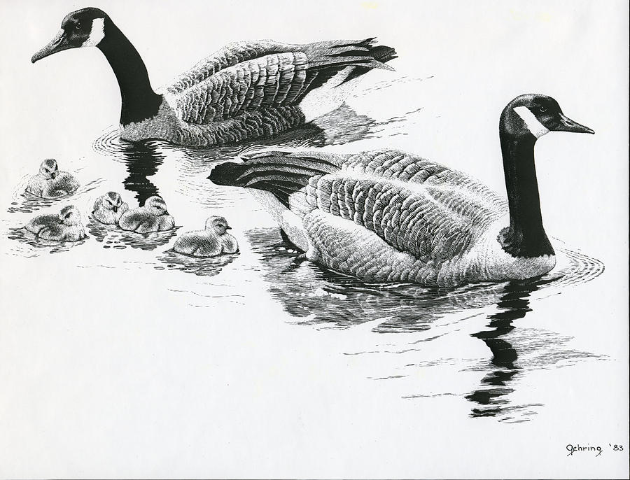 Ducks Drawing - Canada Geese by Bill Gehring