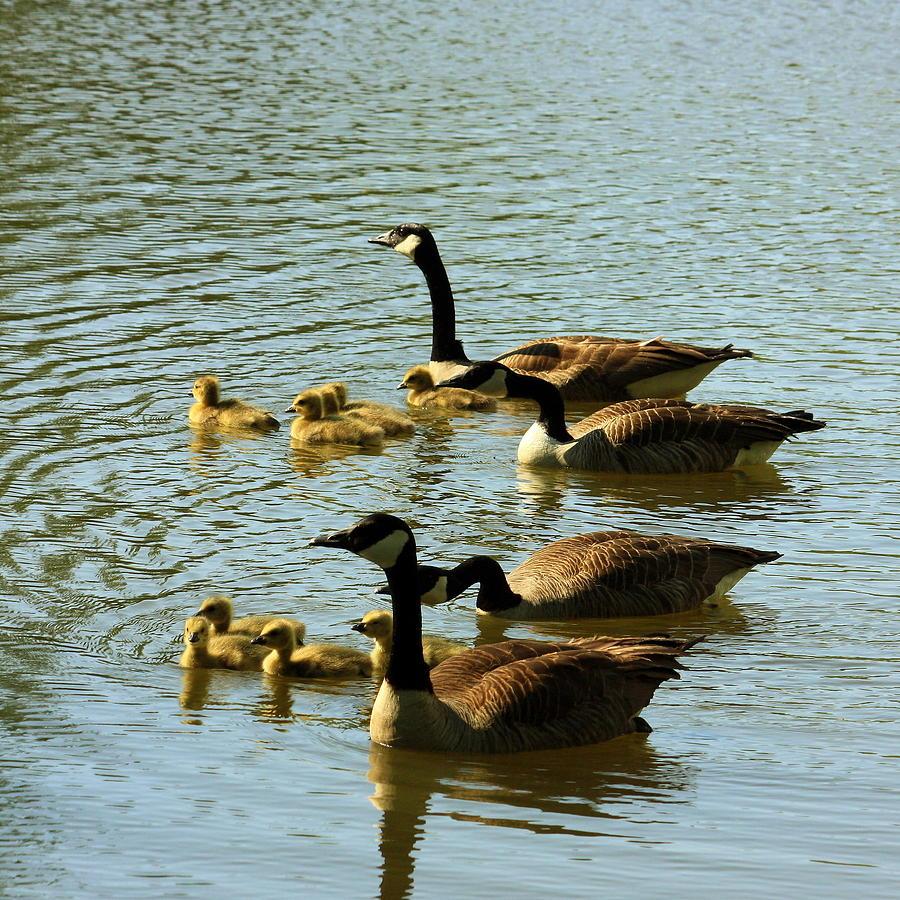 Birds Photograph - Canada Geese Families by Mark Codington