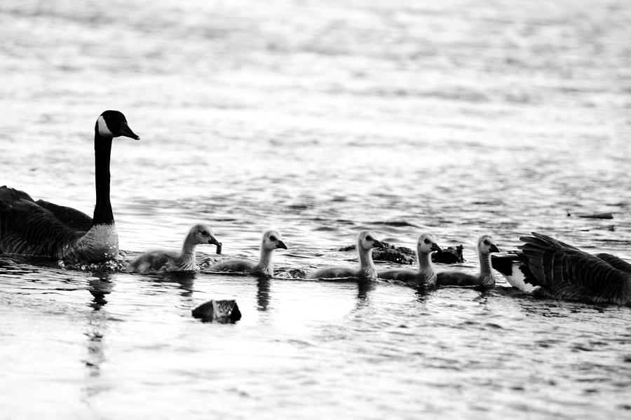Canada Photograph - Canada Geese Family II Bw by Paul Ge