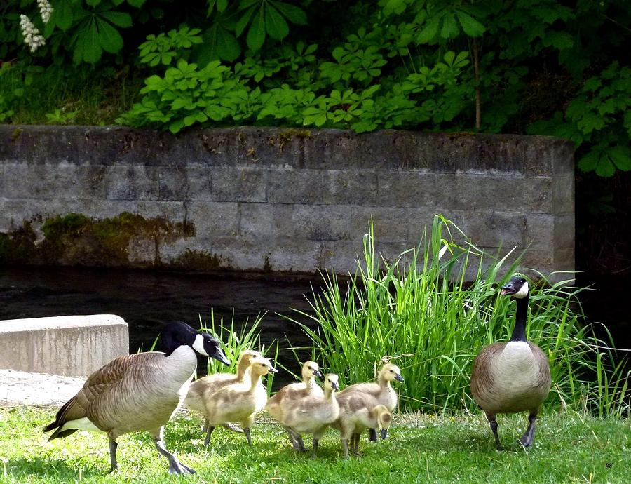 Canada Geese Photograph - Canada Geese With Goslings by Will Borden