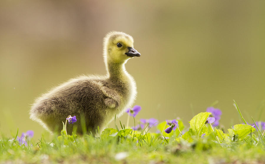 Canadian Goose Baby | www.pixshark.com - Images Galleries ...