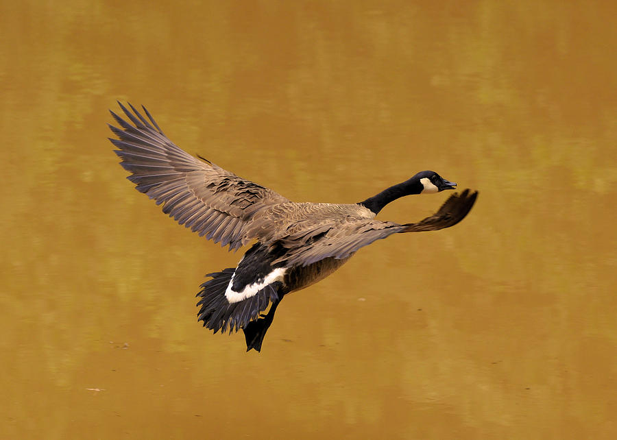 Goose Photograph - Canada Goose In Landing Approach  - C4557b by Paul Lyndon Phillips
