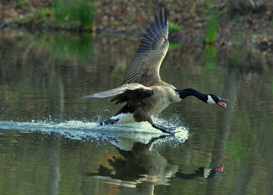 Dive Photograph - Canada Goose Power Landing - C8139h by Paul Lyndon Phillips