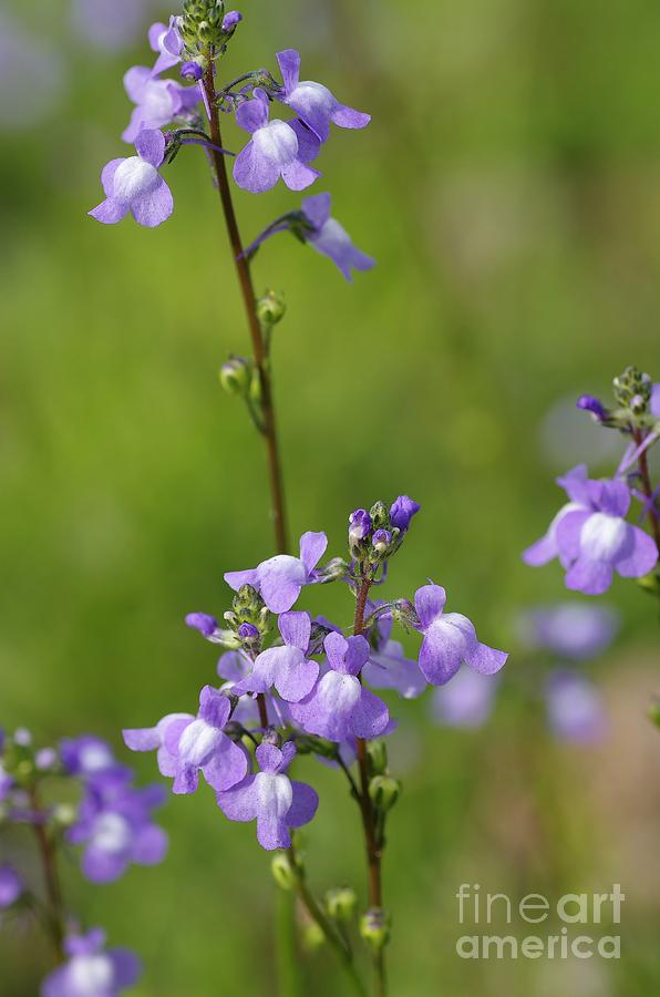 Nuttallanthus Canadensis Photograph - Canada Toadflax by Don Youngclaus
