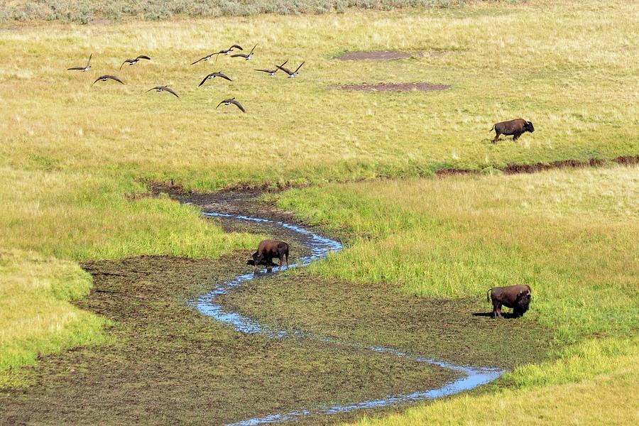 Horizontal Photograph - Canadian Geese And Bison, Yellowstone by Brian Bruner