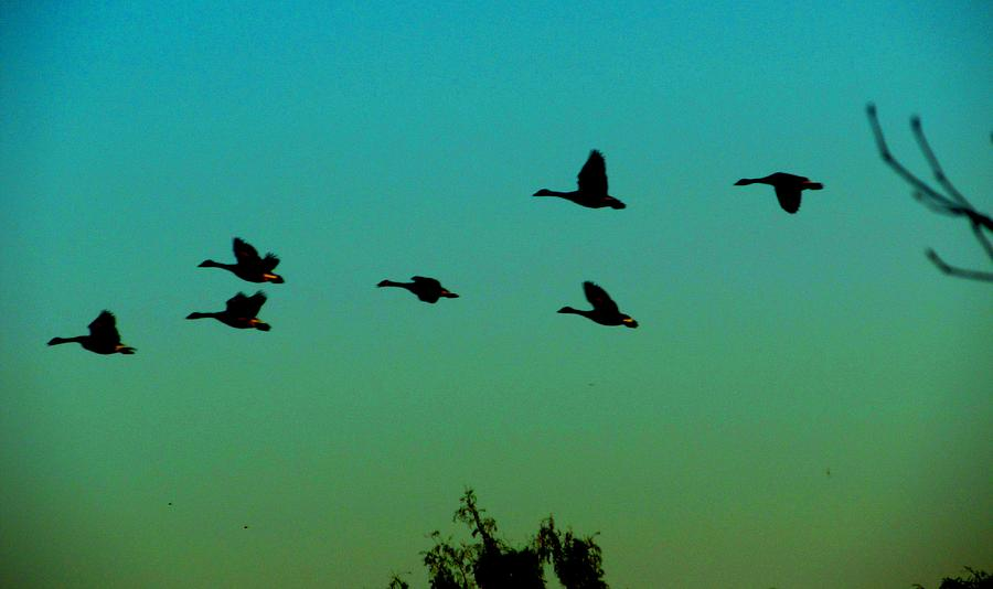 Geese Photograph - Canadian Geese In Flight by David Killian