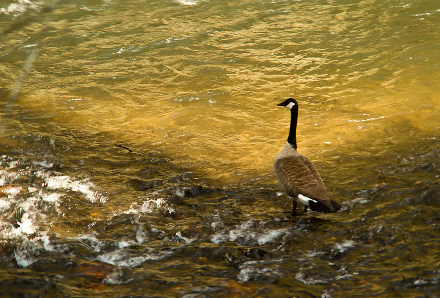 Canadian Photograph - Canadian Goose In Golden Sunlight by Douglas Barnett