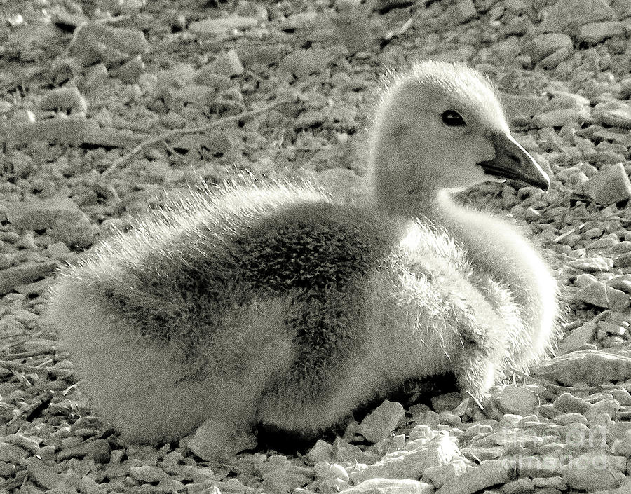 Canada Goose Photograph - Canadian Gosling by Janeen Wassink Searles