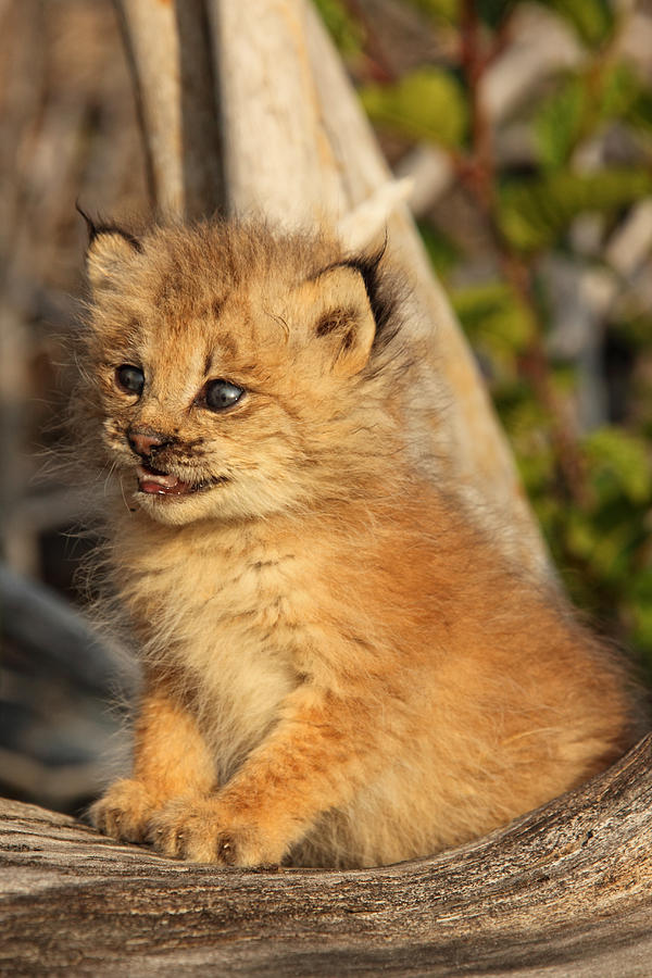 Canadian Lynx Kitten Alaska Photograph By Robert Postma