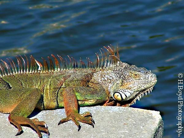 Iguana Photograph - Canal King by Heather  Boyd