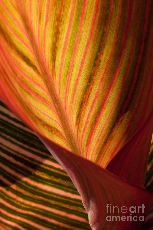 Floral Fine Art Photograph Photograph - Canna by Annette Weiner