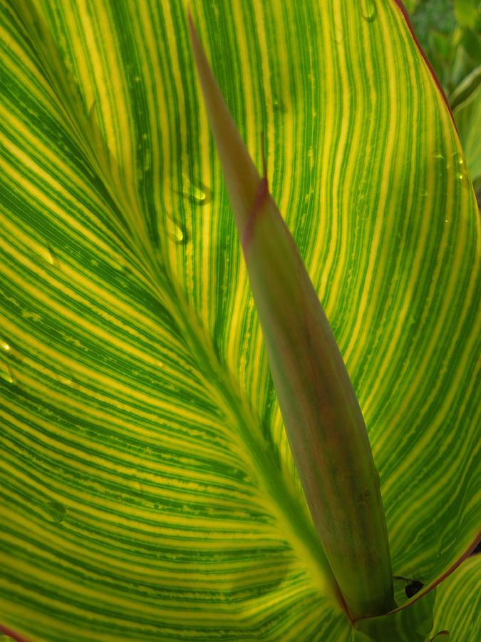 Boone Plantation Photograph - Canna Leaf by Peg Toliver