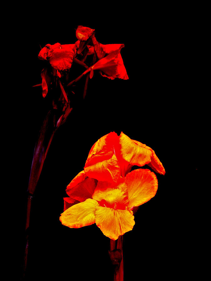 Canna Photograph - Canna Lilies On Black by Mother Nature